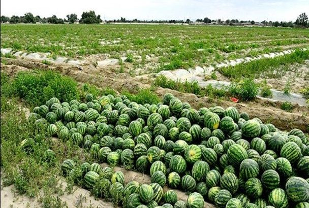 آغاز برداشت هندوانه پاییزه در بندرلنگه/ پیش بینی تولید ۶۰۰ تن محصول